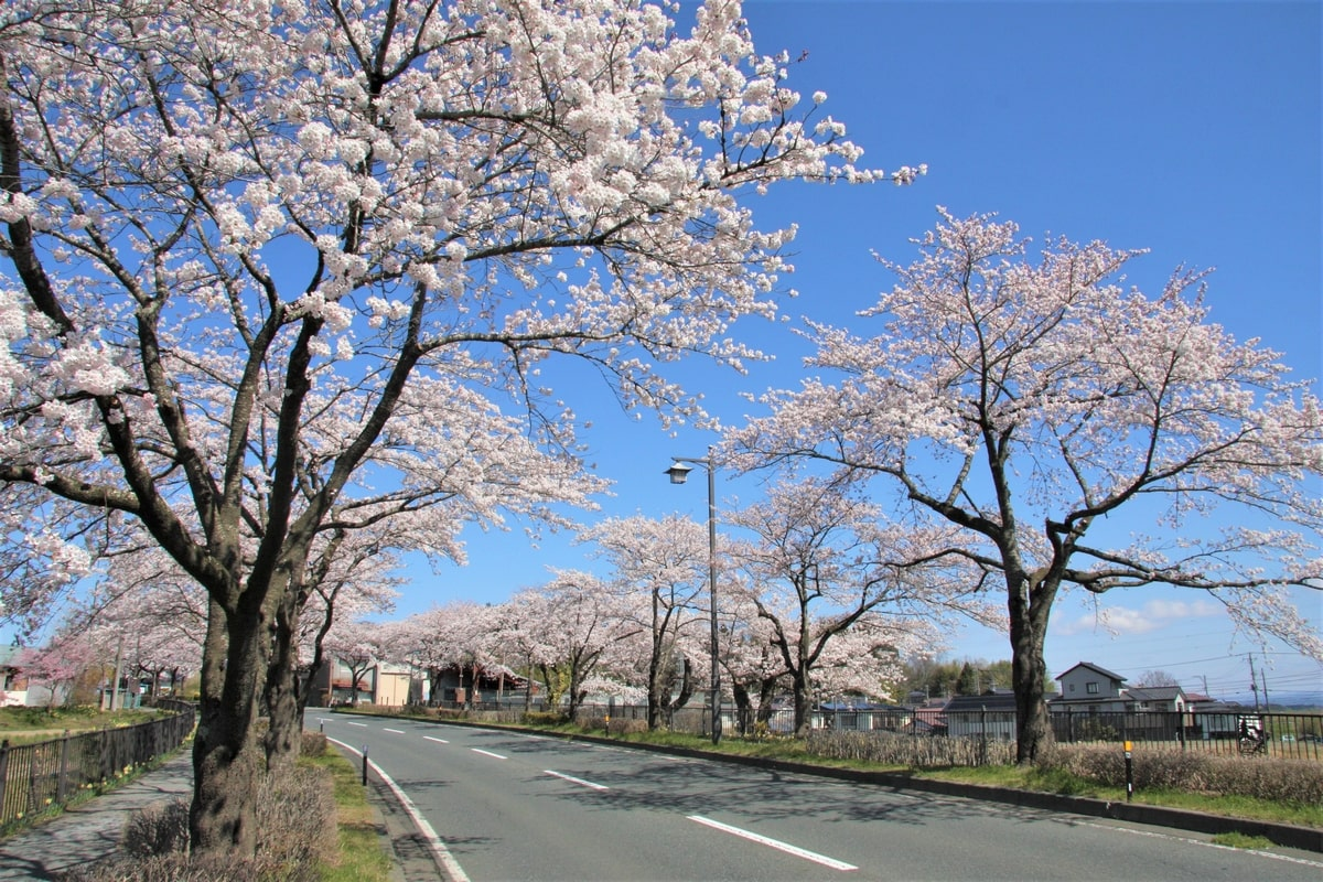 花が見頃の300号の桜行列